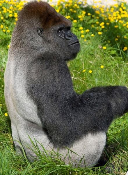gorila enorme