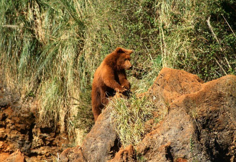 Oso---Ursus-arctos---Cabárceno-1