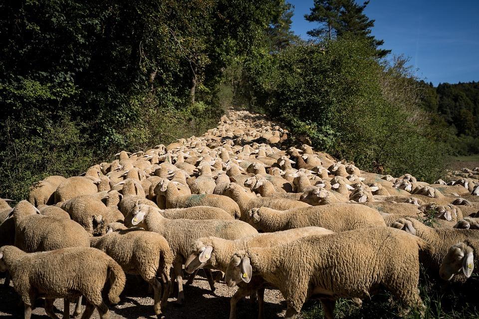 Somos Trashumantes': camina con las ovejas por Soria